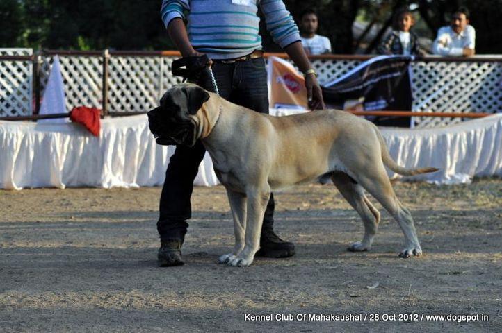 bullmastiff,sw-60,, Jabalpur Dog Show 2012, DogSpot.in