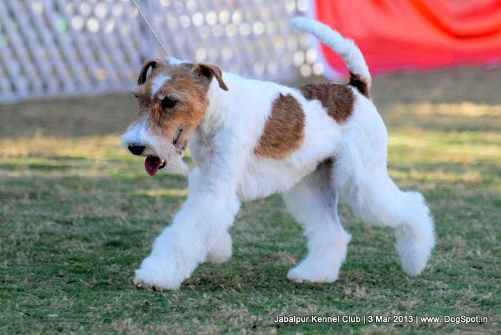 ex-27,fox terrier,sw-81,, FIERY FOX SAFARI, Fox Terrier- Weired Hair, DogSpot.in