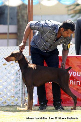 dobermann,sw-81,, Jabalpur Dog Show 2013, DogSpot.in