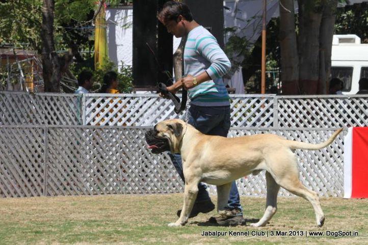 bull mastiff,ex-111,sw-81,, THEROGAURD HANDSOME HUNK, Bullmastiff, DogSpot.in