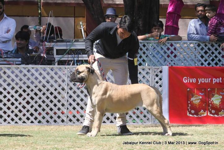 bull mastiff,ex-115,sw-81,, THEROGUARD'S WAY AHEAD, Bullmastiff, DogSpot.in