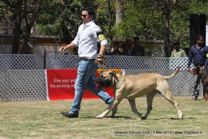 bull mastiff,ex-118,sw-81,, THEROGUARD LEONEXT, Bullmastiff, DogSpot.in