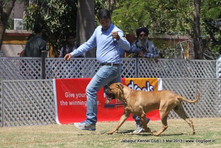 bull mastiff,sw-81,, Jabalpur Dog Show 2013, DogSpot.in