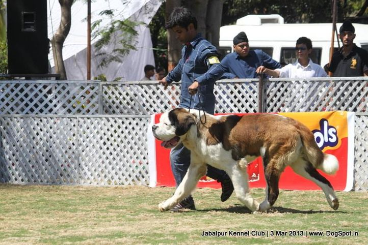 ex-176,stbernard,, Jabalpur Dog Show 2013, DogSpot.in