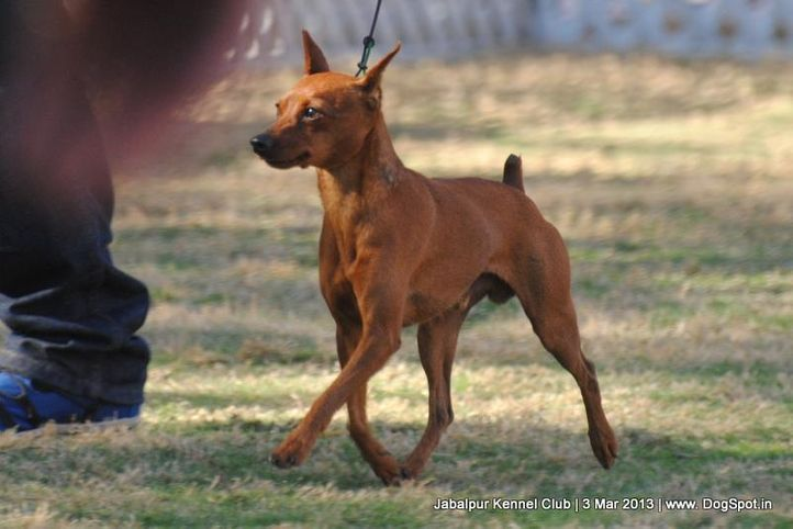 miniature pinscher,sw-81,, Jabalpur Dog Show 2013, DogSpot.in