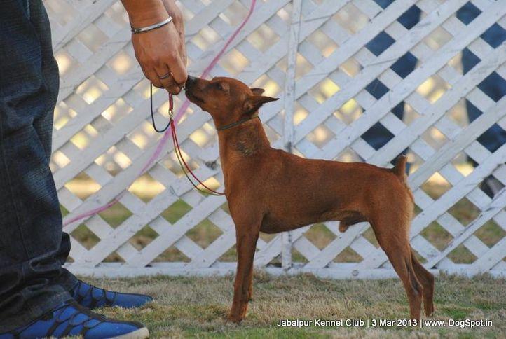 miniature pinscher,sw-81,, Jabalpur Dog Show 2013, DogSpot.in
