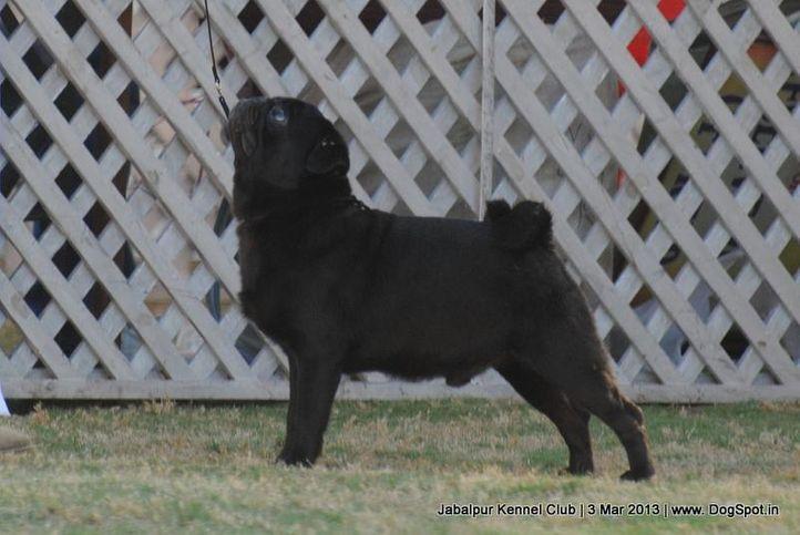 ex-14,pug,sw-81,, JACKSON, Pug, DogSpot.in