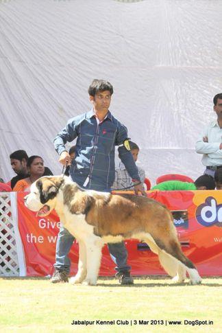 stbernard,, Jabalpur Dog Show 2013, DogSpot.in