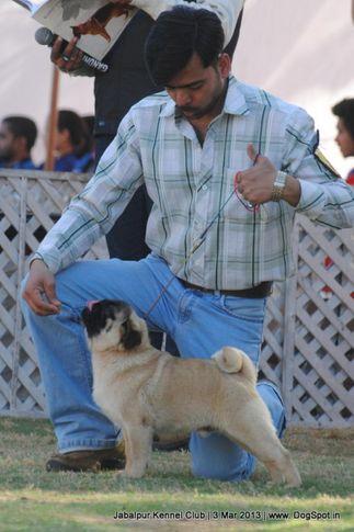 pug,sw-81,, Jabalpur Dog Show 2013, DogSpot.in