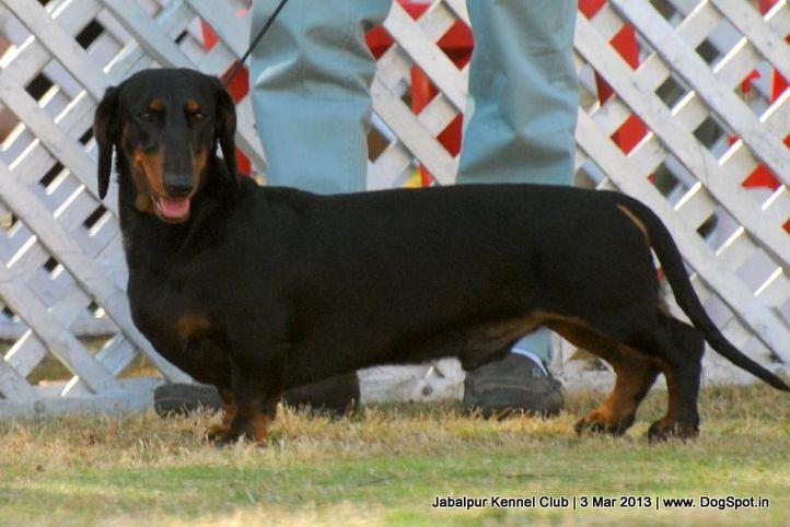 dachshund,ex-45,sw-81,, alex, Dachshund Standard- Smooth Haired, DogSpot.in