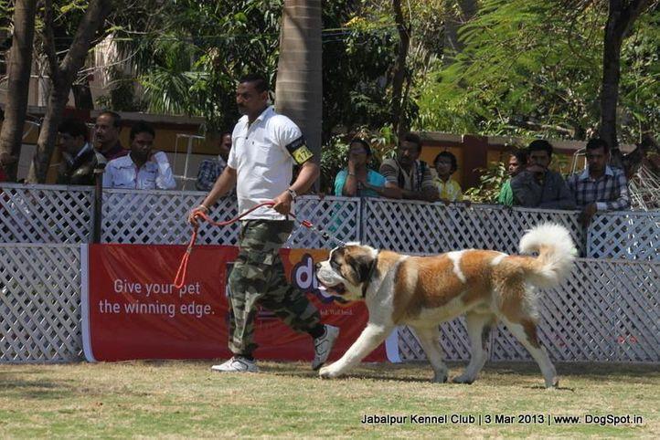 ex-178,stbernard,, Jabalpur Dog Show 2013, DogSpot.in