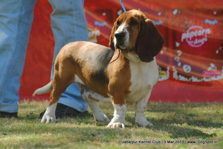 basset hound,ex-33,sw-81,, MISTY, Basset Hound, DogSpot.in