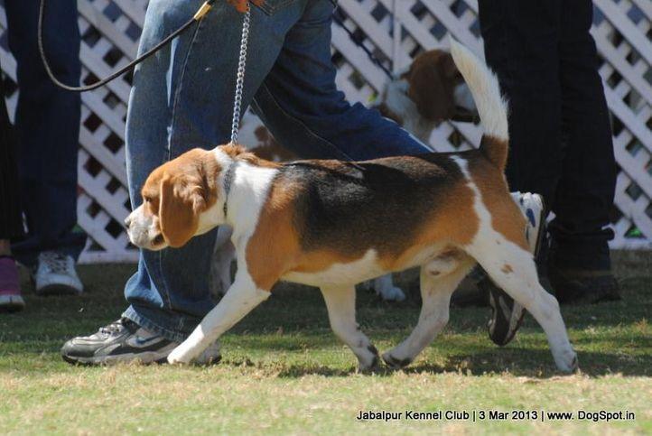 beagle,ex-35,sw-81,, BIMRO'S SILINCER, Beagle, DogSpot.in