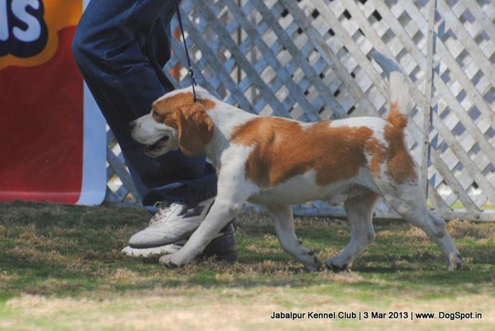 beagle,ex-37,sw-81,, BLUE BELL'S CAMEO, Beagle, DogSpot.in