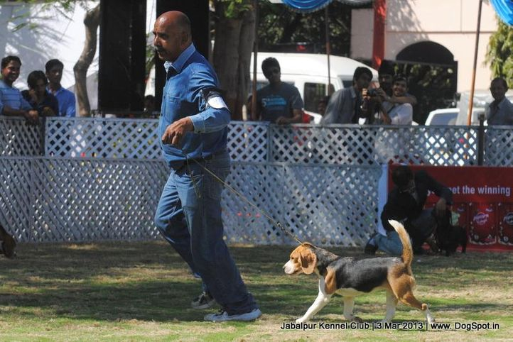 beagle,ex-40,sw-81,, ROSY'S CHUM CHUM, Beagle, DogSpot.in