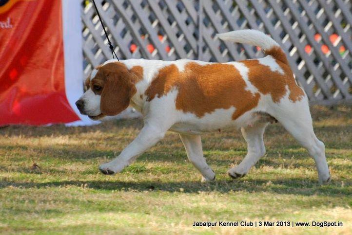 beagle,ex-41,sw-81,, MUDGAL'S NOBLILI, Beagle, DogSpot.in
