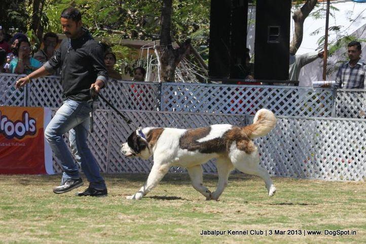 ex-179,stbernard,, Jabalpur Dog Show 2013, DogSpot.in