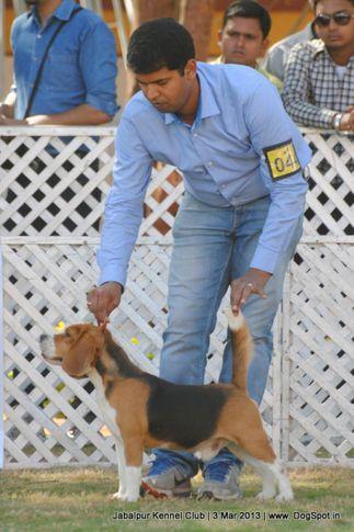 beagle,ex-44,sw-81,, TRIPATHI'S LIDO THE GREATE, Beagle, DogSpot.in