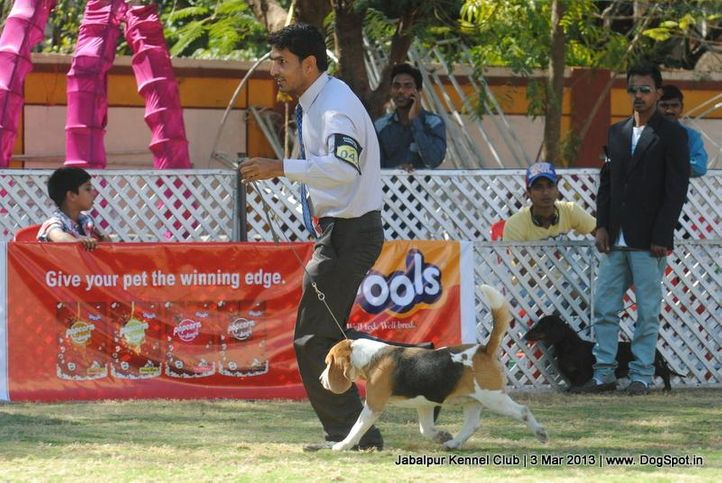 beagle,sw-81,, Jabalpur Dog Show 2013, DogSpot.in
