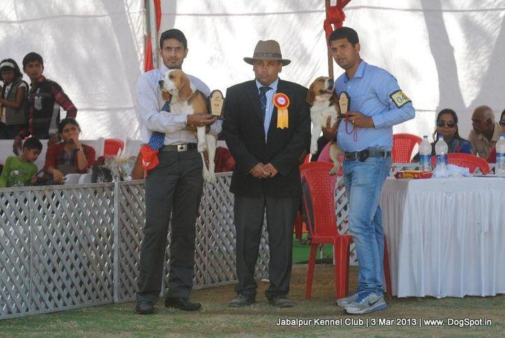 beagle,sw-81,, Jabalpur Dog Show 2013, DogSpot.in