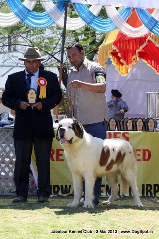ex-177,stbernard,, Jabalpur Dog Show 2013, DogSpot.in