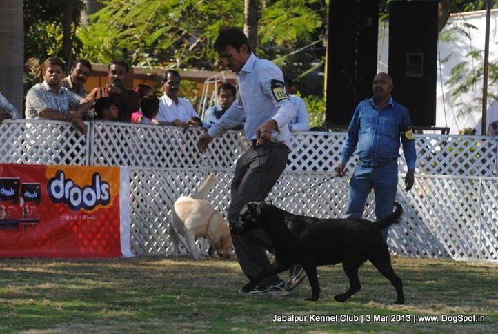labrador retriever,sw-81,, Jabalpur Dog Show 2013, DogSpot.in