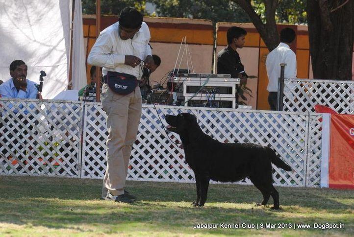 labrador retriever,sw-81,, Jabalpur Dog Show 2013, DogSpot.in