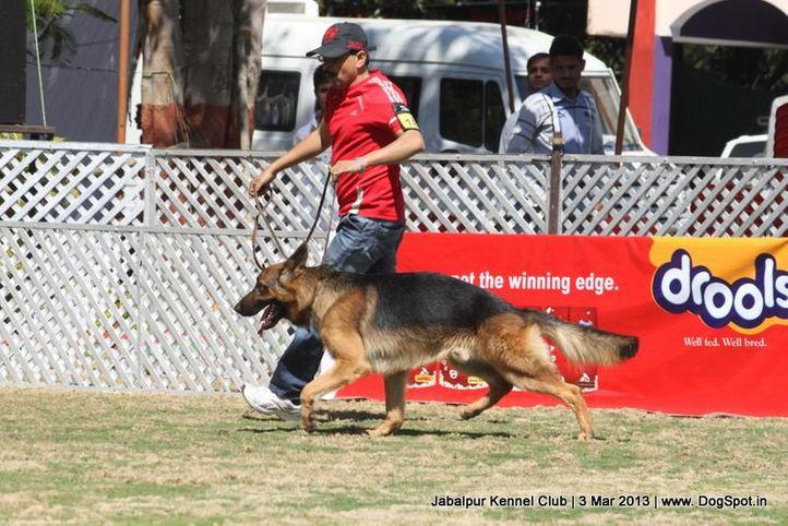 ex-184,german shepherd,sw-81,, ROCKEY OF PALAEOLAND, German Shepherd Dog, DogSpot.in