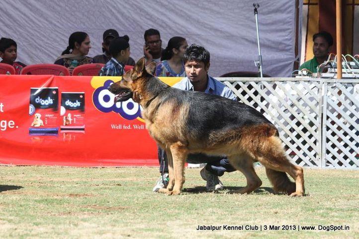 ex-187,german shepherd,sw-81,, KAPSLINE VICTOR, German Shepherd Dog, DogSpot.in