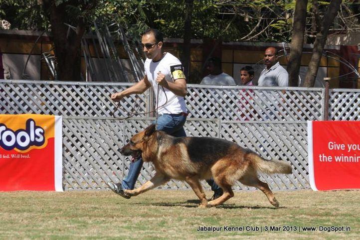 ex-195,german shepherd,sw-81,, KONDO OF SHEPMAGIC, German Shepherd Dog, DogSpot.in
