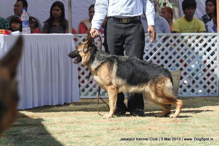 ex-197,german shepherd,sw-81,, PALMA OF BHALOTIA, German Shepherd Dog, DogSpot.in