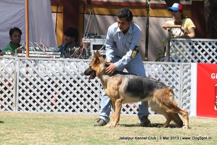 ex-201,german shepherd,sw-81,, CINDY OF DANEIL'S, German Shepherd Dog, DogSpot.in
