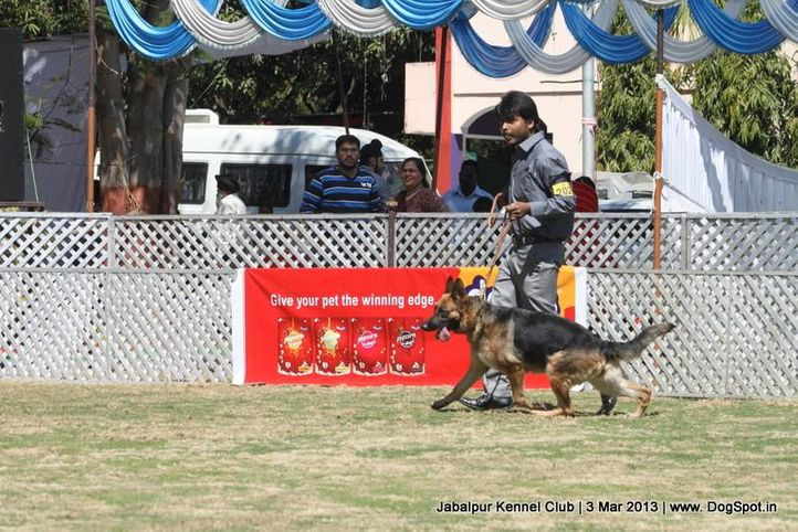 ex-202,german shepherd,sw-81,, SUNSHINE'S VIVA, German Shepherd Dog, DogSpot.in