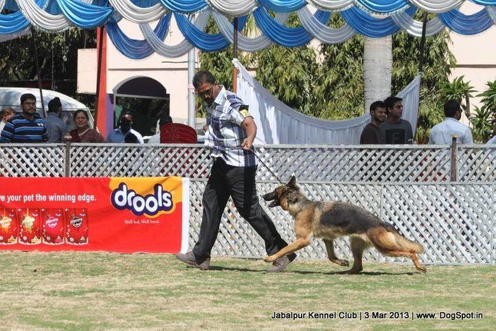 ex-203,german shepherd,sw-81,, BLITHZHAUS AUSSIE, German Shepherd Dog, DogSpot.in