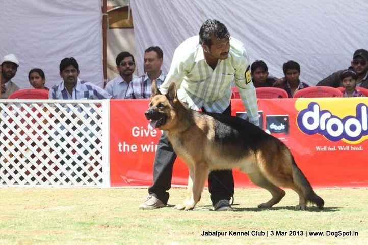 ex-210,german shepherd,sw-81,, DARIO VON DER PISTE TROPHE, German Shepherd Dog, DogSpot.in