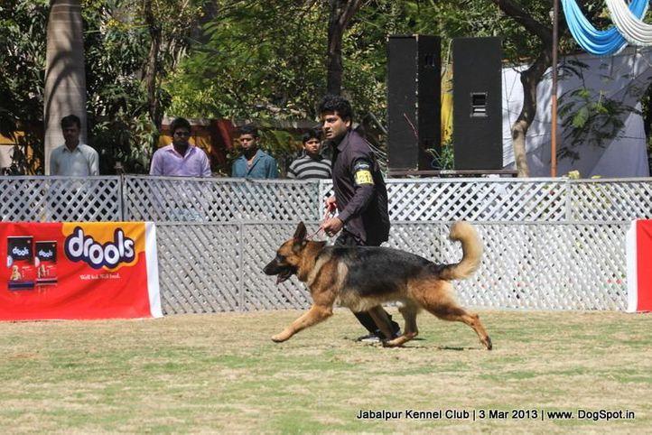ex-212,german shepherd,sw-81,, ASTA VON SCHNITZERTEAM, German Shepherd Dog, DogSpot.in