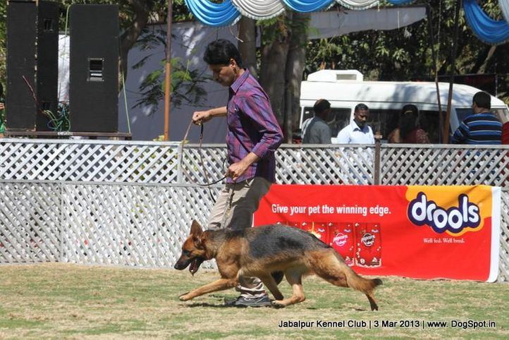 german shepherd,sw-81,, Jabalpur Dog Show 2013, DogSpot.in