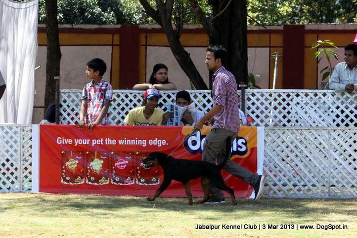 rottweiler,sw-81,, Jabalpur Dog Show 2013, DogSpot.in