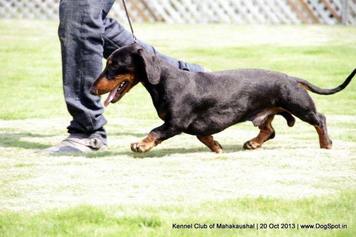 ex-41,sw-87,dachshund, alex, Dachshund Standard- Smooth Haired, DogSpot.in