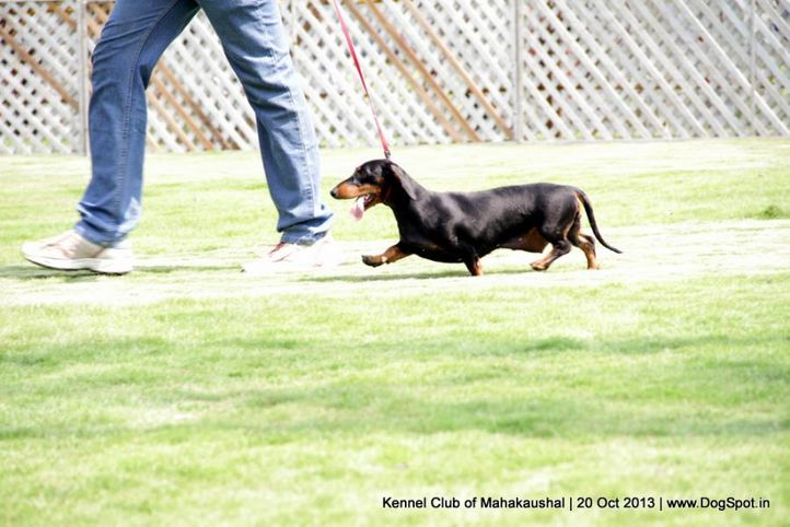 ex-42,sw-87,dachshund, VAIDYA'S ATTRACTION IN THE RING, Dachshund Standard- Smooth Haired, DogSpot.in