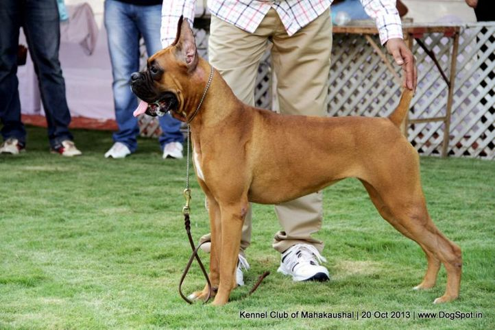 boxer,ex-94,sw-87,, SHYAMBEER'S ROMEA, Boxer, DogSpot.in
