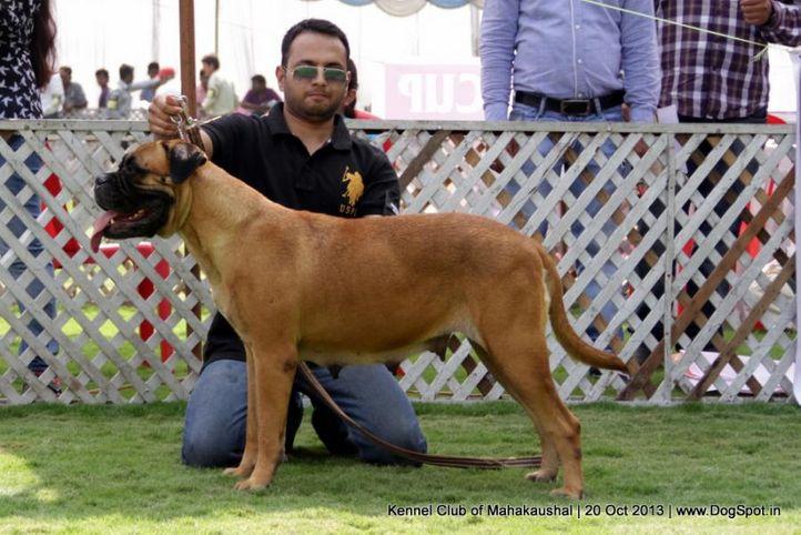 bullmastiff,ex-103,sw-87,, RUFUS, Bullmastiff, DogSpot.in