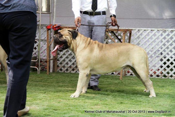 bullmastiff,ex-107,sw-87,, I BRAVI RAGAZZI JUST A GIGOLO, Bullmastiff, DogSpot.in