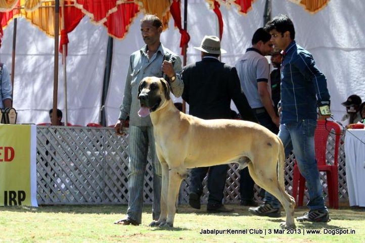 great dane,sw-81,, Jabalpur Dog Show 2013, DogSpot.in