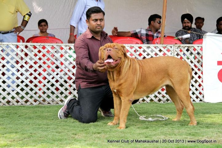ex-125,french mastiff,sw-87,, RAKHEA, Dogue De Bordeaux, DogSpot.in