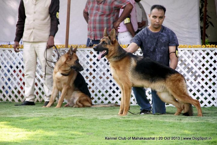 ex-163,gsd,sw-87,, GOLDEN FARM'S DRILL, German Shepherd Dog, DogSpot.in