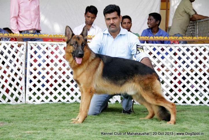 ex-177,gsd,sw-87,, REBELL VOM KOLSTER MOOR, German Shepherd Dog, DogSpot.in