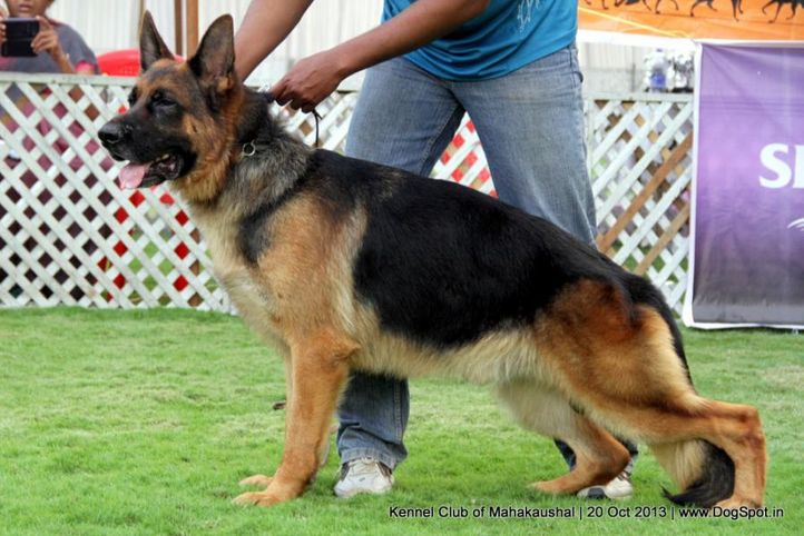 ex-178,gsd,sw-87,, ALONSO OF KAPSLINE, German Shepherd Dog, DogSpot.in