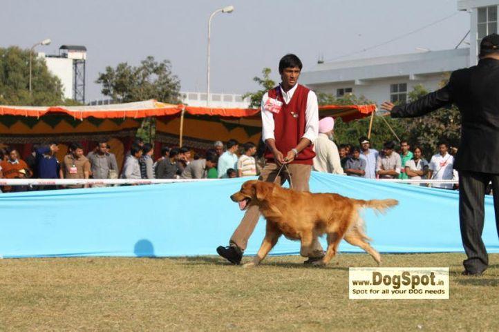 golden,, Jaipur 2010, DogSpot.in