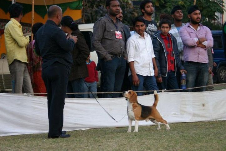 beagle,, Jaipur 2010, DogSpot.in
